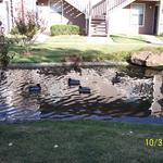 Eight Ducks in Pond on Halloween