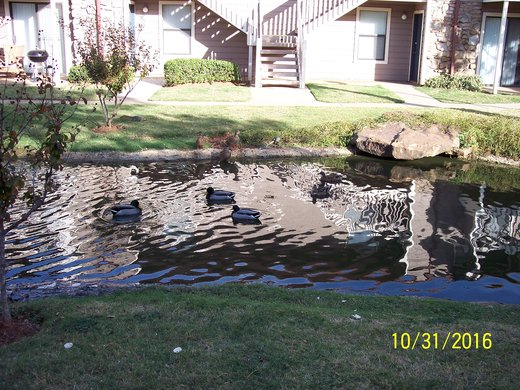 Eight Ducks in Pond on Halloween