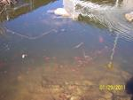 Fish in Pond #1
