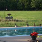 Four Ducks Walking by Parent's Pool