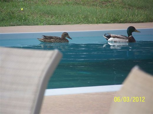 Two Ducks in Parent's Pool