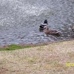 Two Ducks in Pond #1