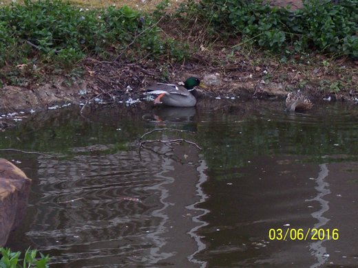 Two Ducks in Pond #2